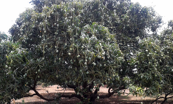 Mango tree full of mangoes