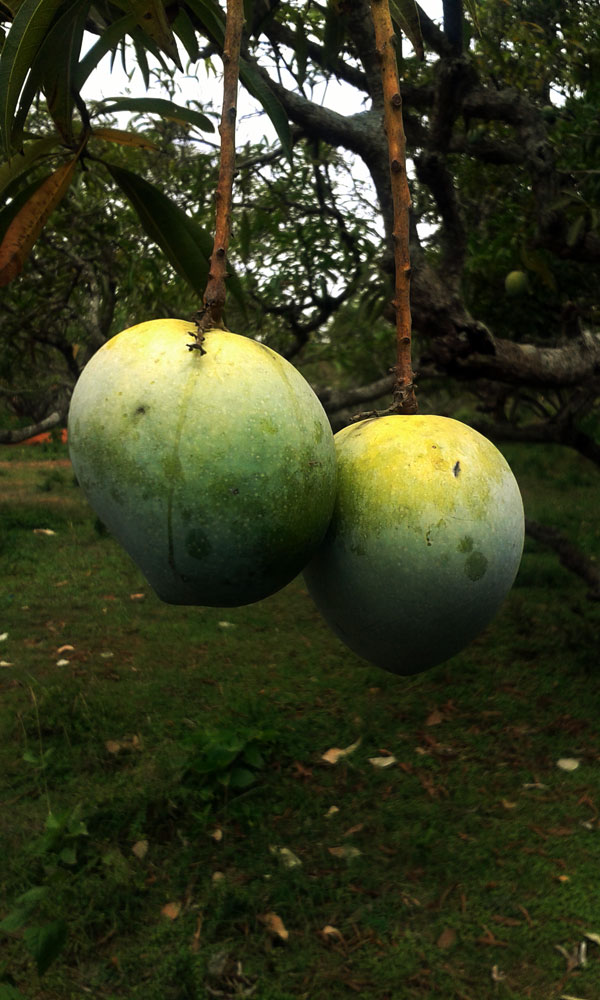 A pair of mangoes enjoying life