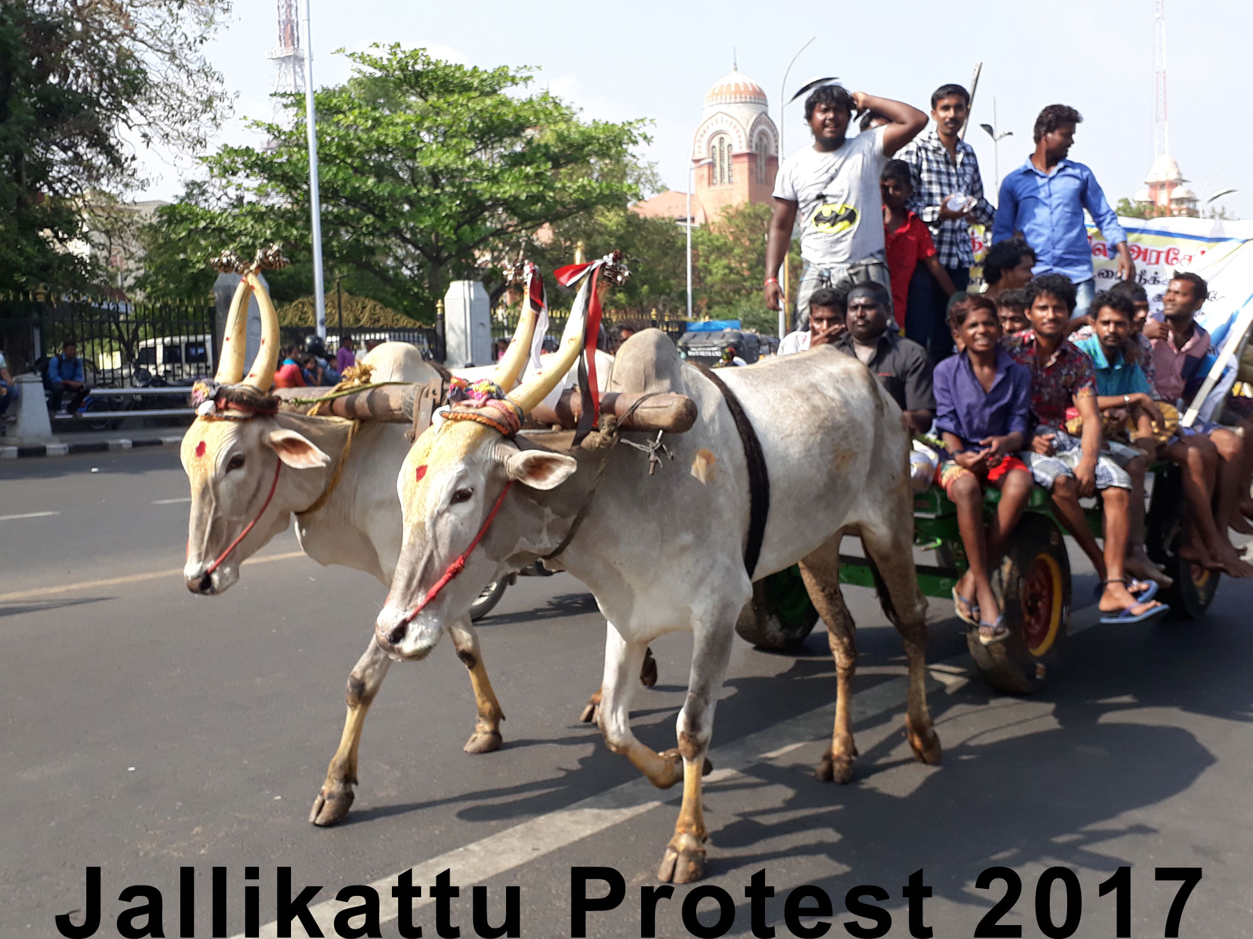 bullock cart at Marina beach, during Jallikattu festival sport protest